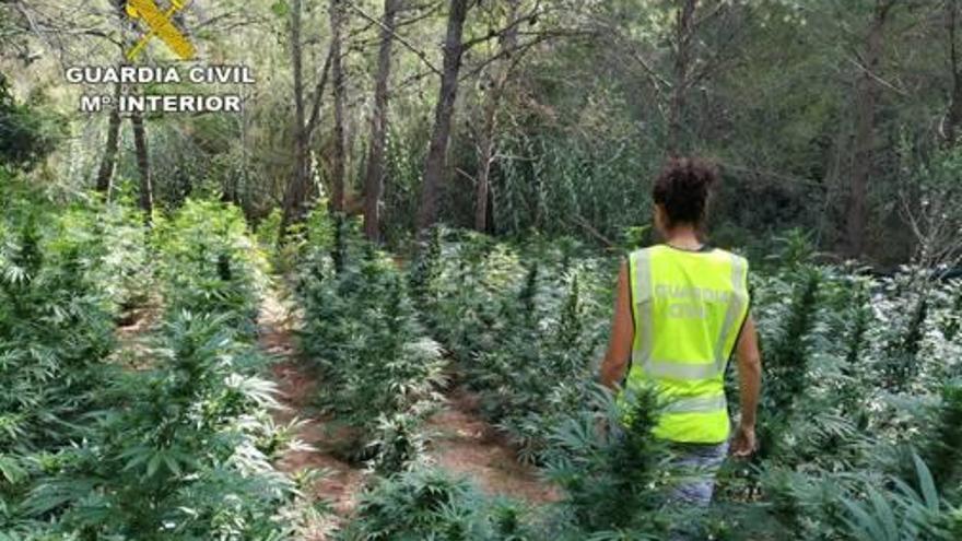 Descubren un 'bosque' de marihuana en Torrechiva con más de 1.500 plantas