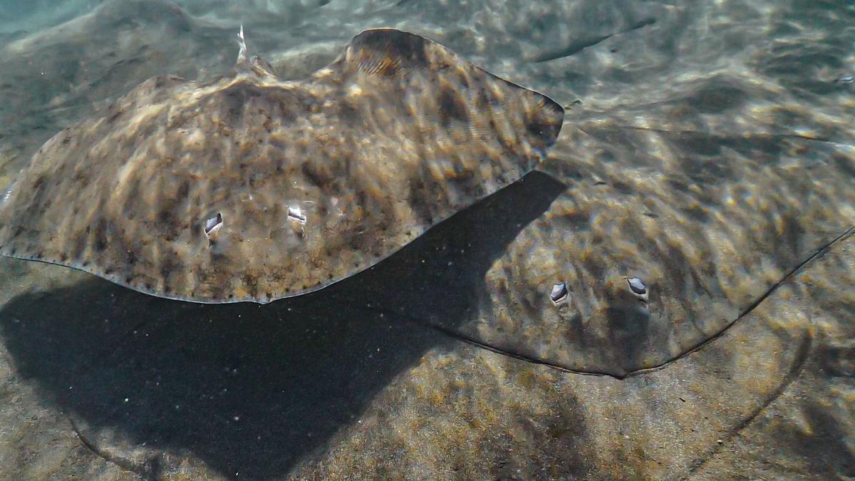En las imágenes aparecen mantelinas, también conocidas como rayas mariposa, filmadas por el documentalista marino Felipe Ravina (debajo). | felipe ravina