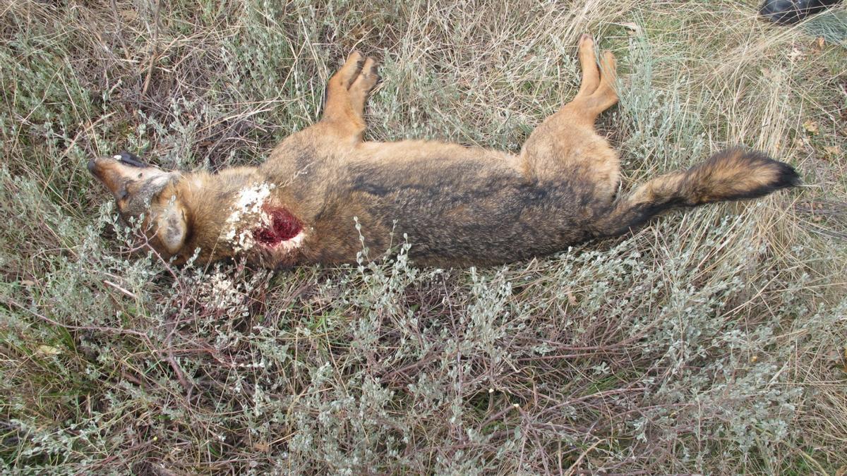 El cadáver del lobo ibérico