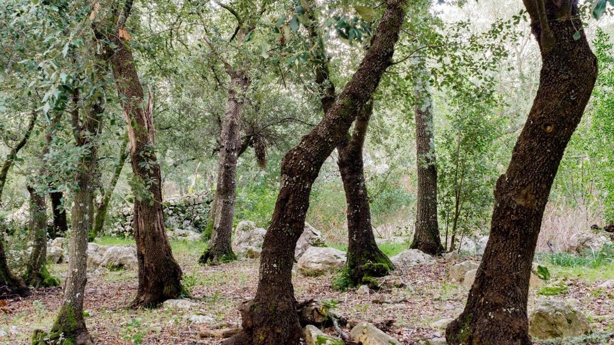 Imagen de un encinar de Mallorca.