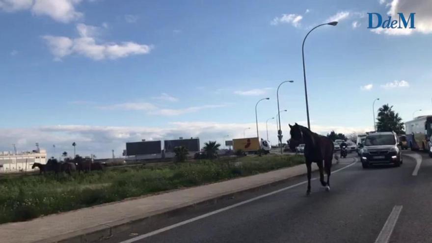 Pferde aus Rennbahn in Palma de Mallorca entlaufen