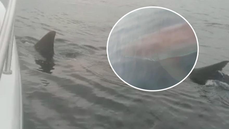 """El inusual (e impactante) encuentro con un gran tiburón blanco a diez millas de Ribadesella: """"Sus dientes impresionan"""""""