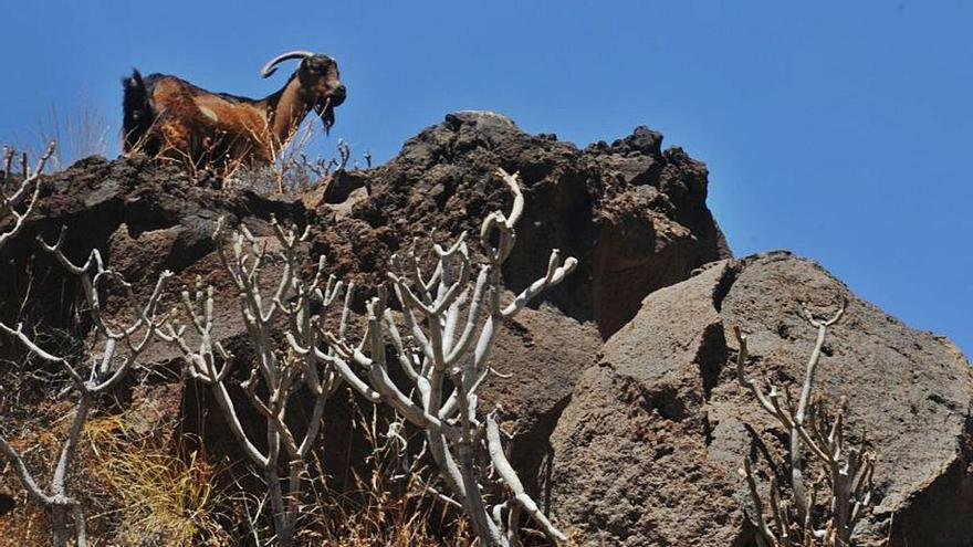 El Consistorio solicita apañadas de cabras  en Anaga para garantizar la biodiversidad
