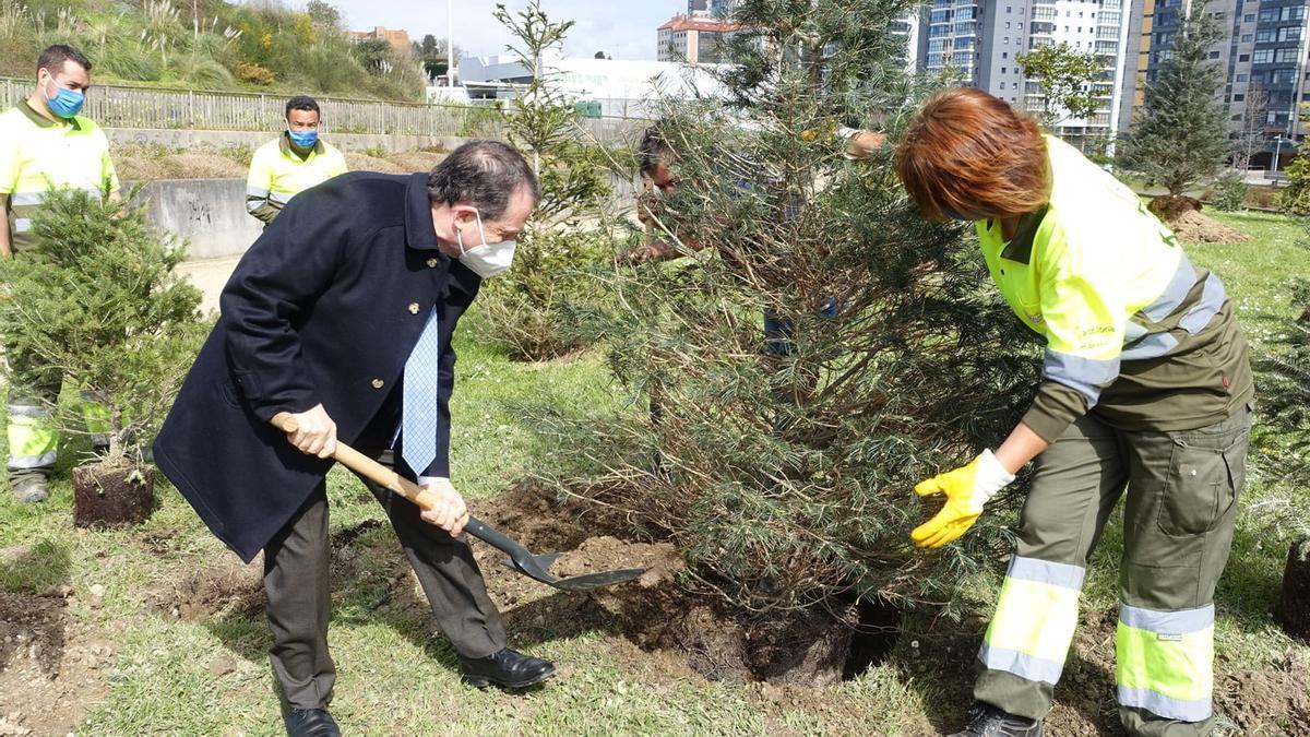 Abel Caballero plantando hoy los nuevos abetos en Navia