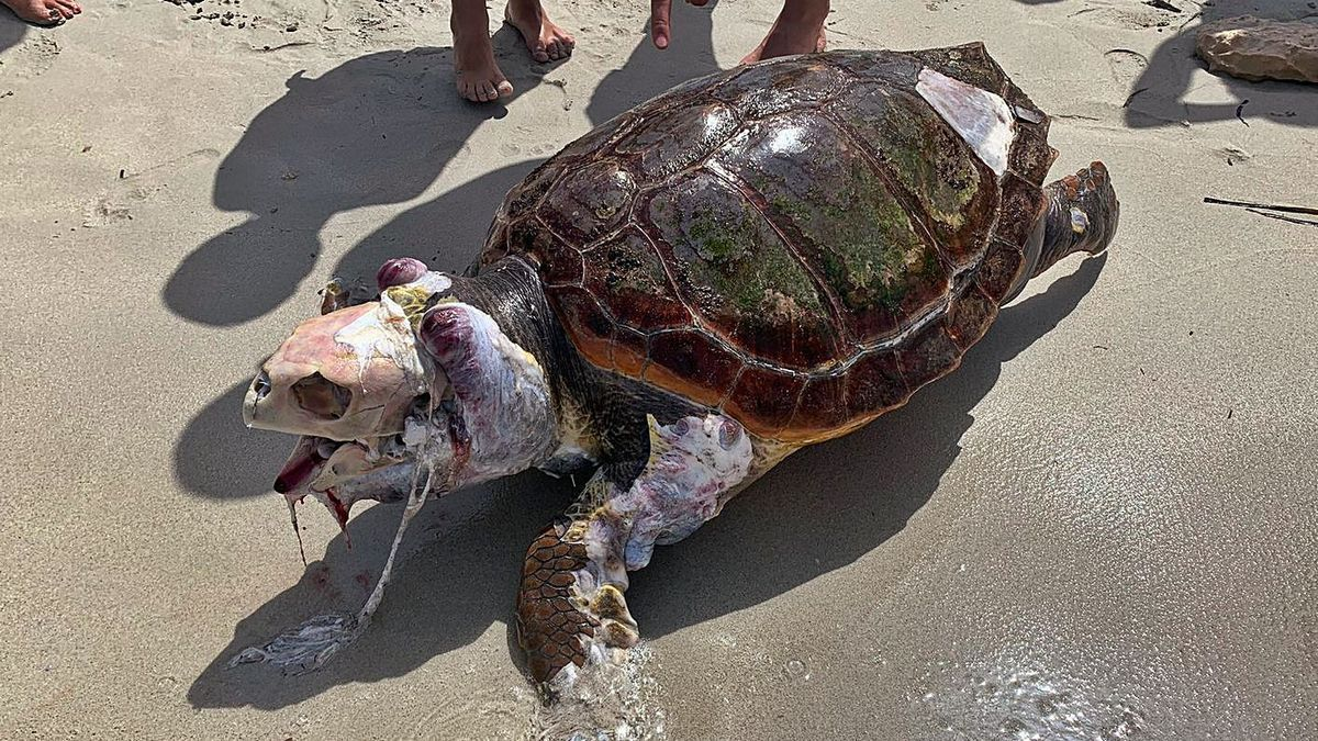 Cadáver de una tortuga boba aparecida en Formentera.