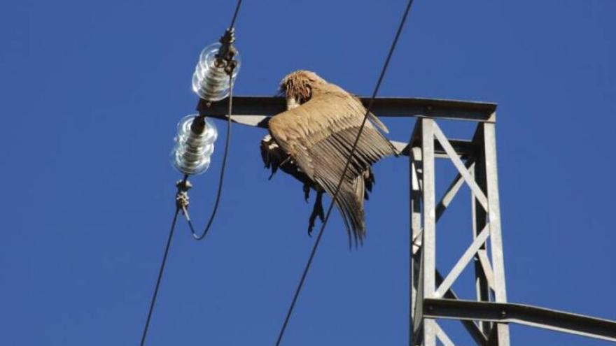 Casi 1.000 aves mueren en ocho años en Murcia al chocar contra tendidos