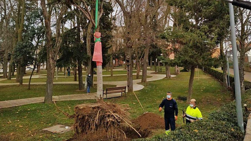Los jardines de la Mota de Benavente albergan un ejemplar de magnolio donado por una familia de Valladolid