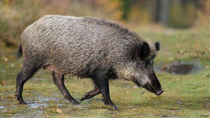 Prohibida la caça major els caps de setmana al parc natural de Sant Llorenç del Munt i l'Obac