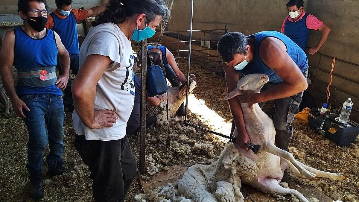 Uno de los alumnos sigue las indicaciones del profesor para esquilar una oveja. | A. B.