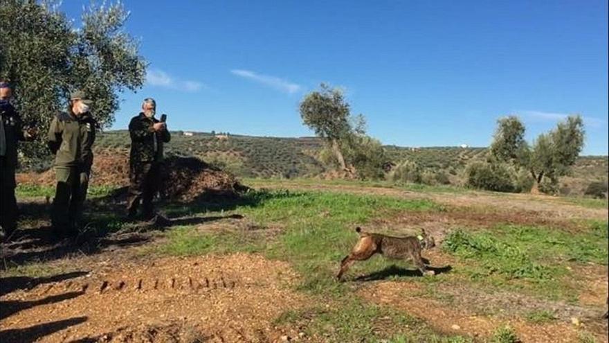 La Junta libera un lince ibérico en Montoro que había nacido en un centro de cría en cautividad de Jaén