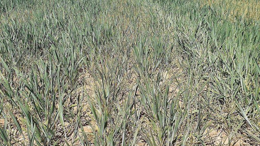 La falta de lluvia en marzo destroza los campos de cultivo aragoneses