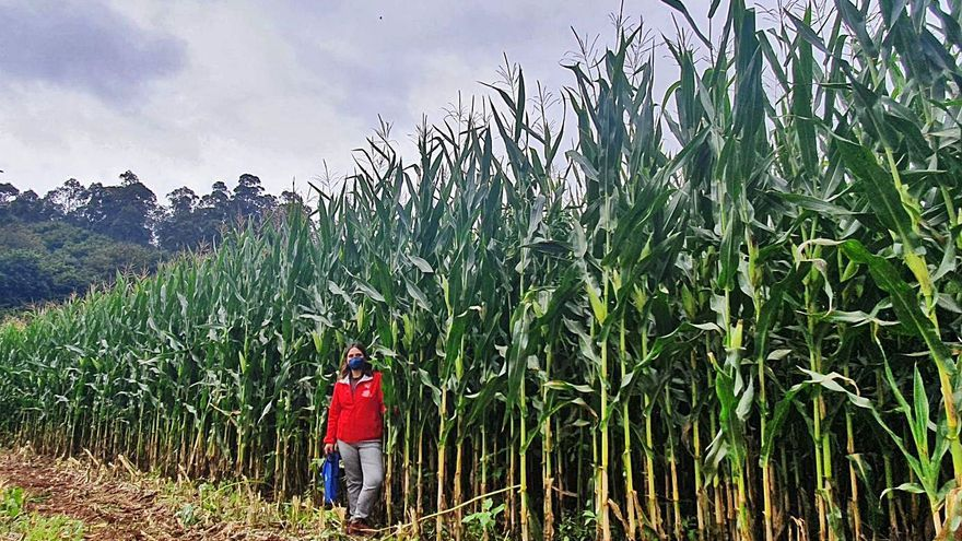 Cobideza busca el maíz ideal