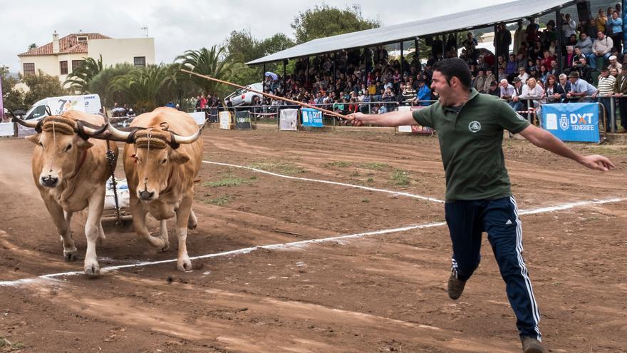 Un senador de Compromís denuncia como maltrato animal el 'arrastre de ganado' en Canarias