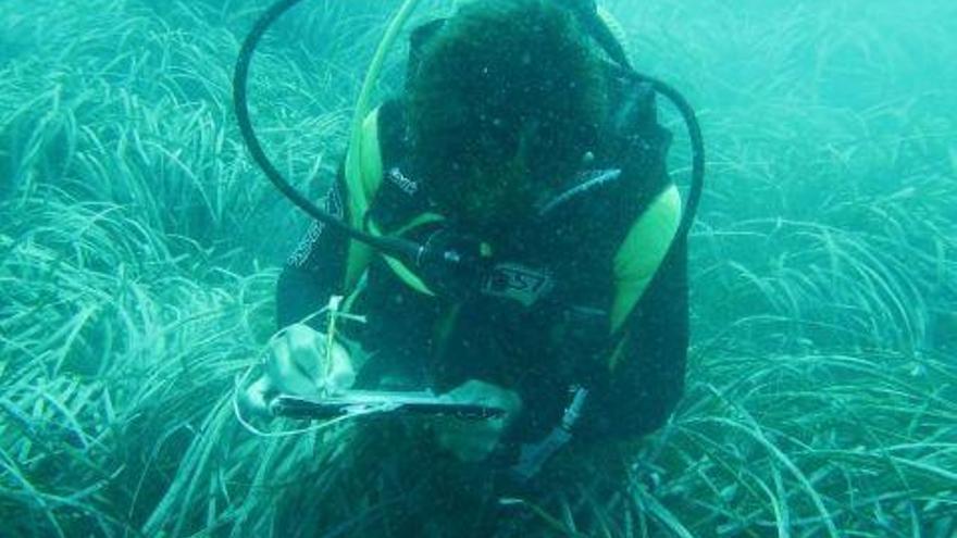 """Las praderas de posidonia oceánica de Calp, en estado """"óptimo"""""""