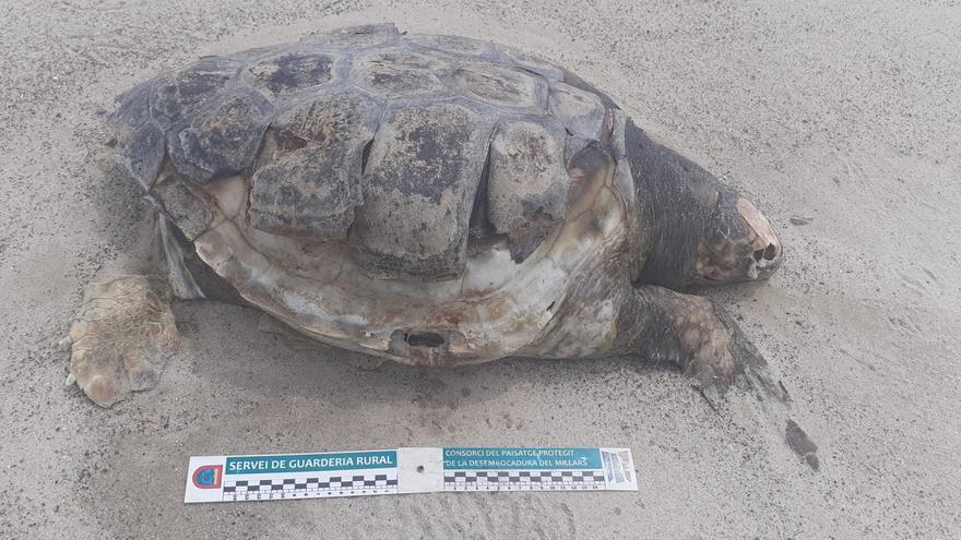 Encuentran muertas tres tortugas en la playa de Almassora