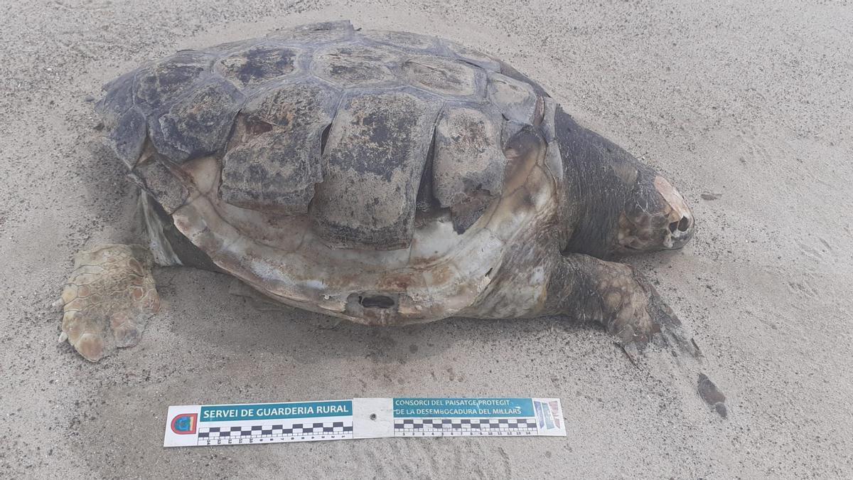 Imagen de uno de los ejemplares de tortuga boba hallados sin vida en la playa de Almassora.