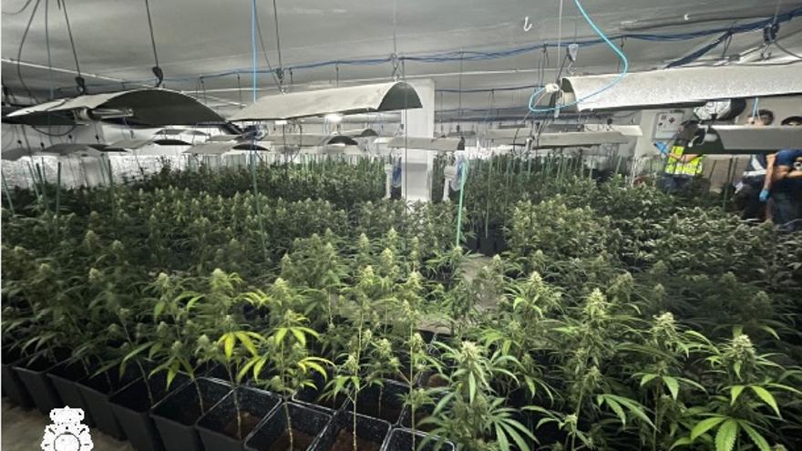 Desmantelada una cosecha de 777 plantas de marihuana en Zamora