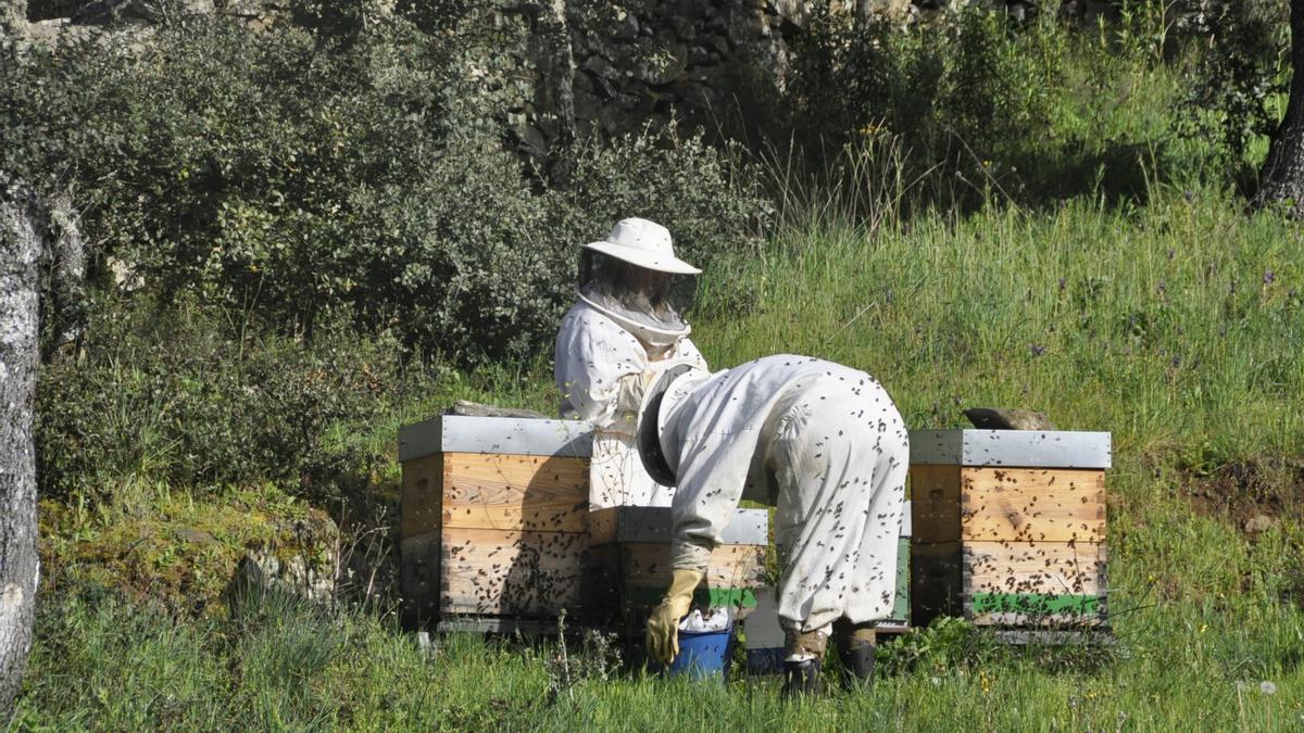 Las mejores mieles de Zamora triunfan en los London Honey Awards. En la imagen, apicultores.