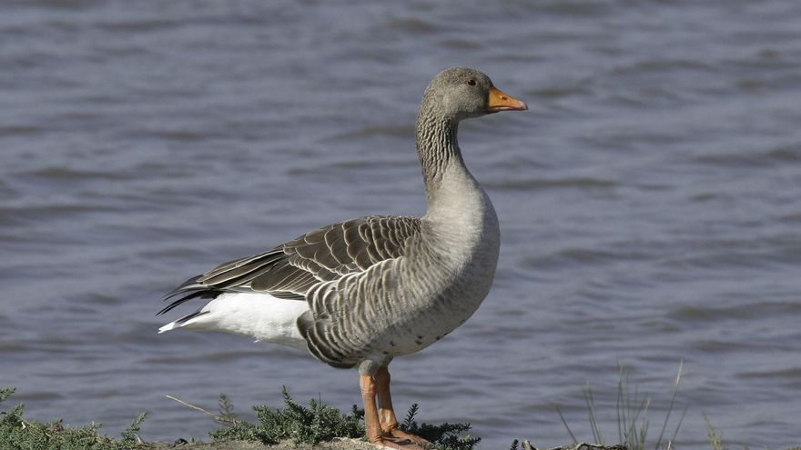 Hallan un ganso con gripe aviar en las Lagunas de Villafáfila   Zamora