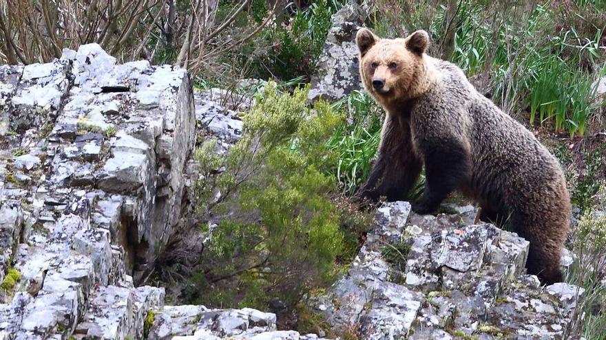 Asturias marcará a los osos que tienen hábito de entrar en pueblos para tenerlos geolocalizados
