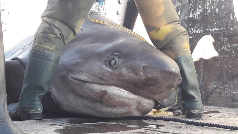 Großer Hai vor Puerto Portals auf Mallorca gefunden