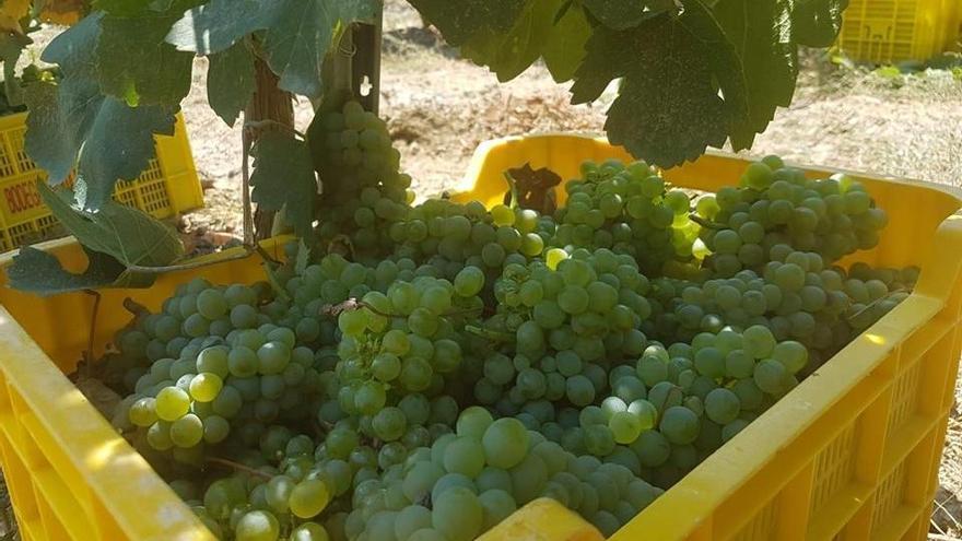 Galicia se prepara para vendimiar 65 millones de kilos de uva