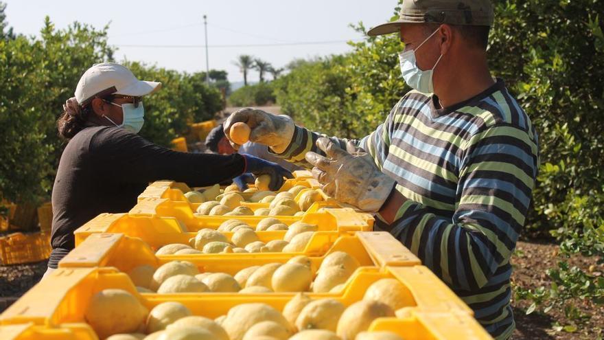 La calidad del limón de la Vega Baja se impone en Europa y eleva su precio