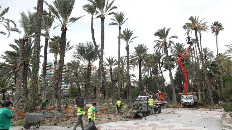 CC OO teme que desaparezcan los palmereros municipales en Elche