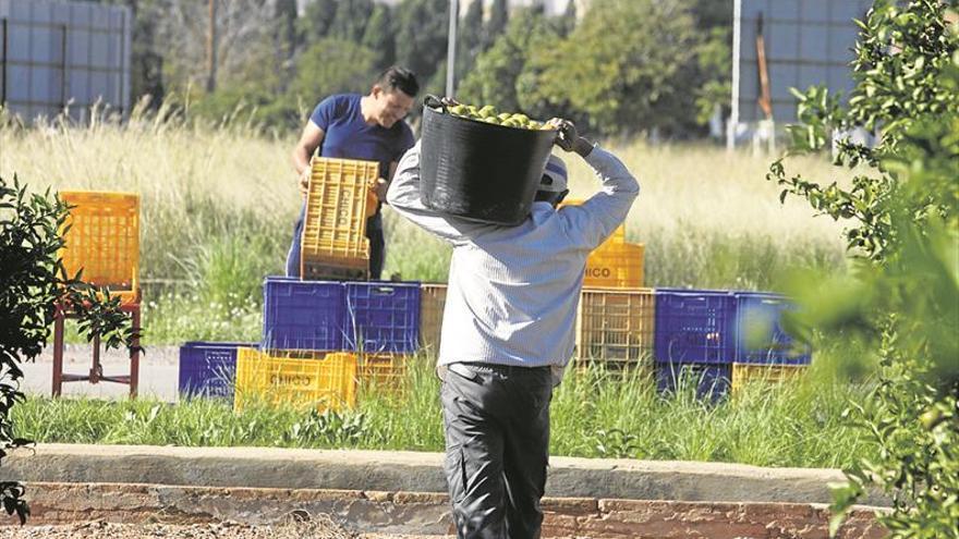 El empleo citrícola se mantiene en los almacenes y baja en el campo