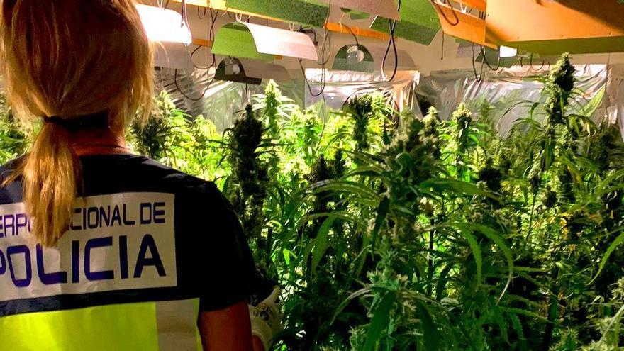 El fuerte olor y gasto de energía destapan una gran plantación de marihuana en Dénia