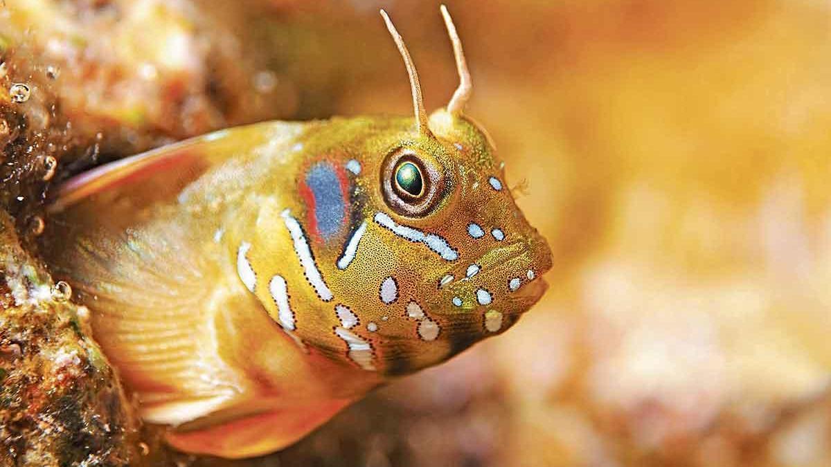 """Der """"Aidablennius sphynx"""", umgangssprachlich Sphinx-Schleimfisch, lebt in Küstennähe."""