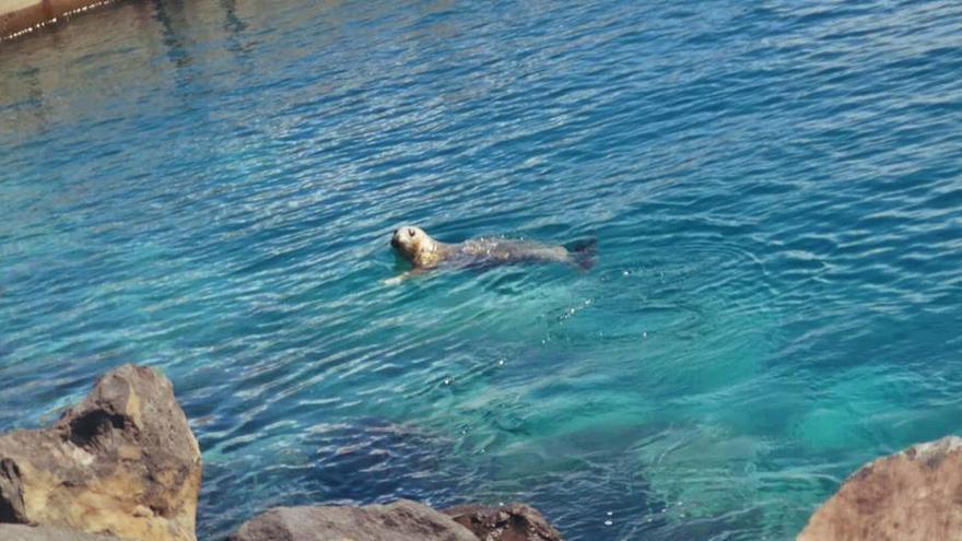 Una foca gris, nueva vecina del Puerto