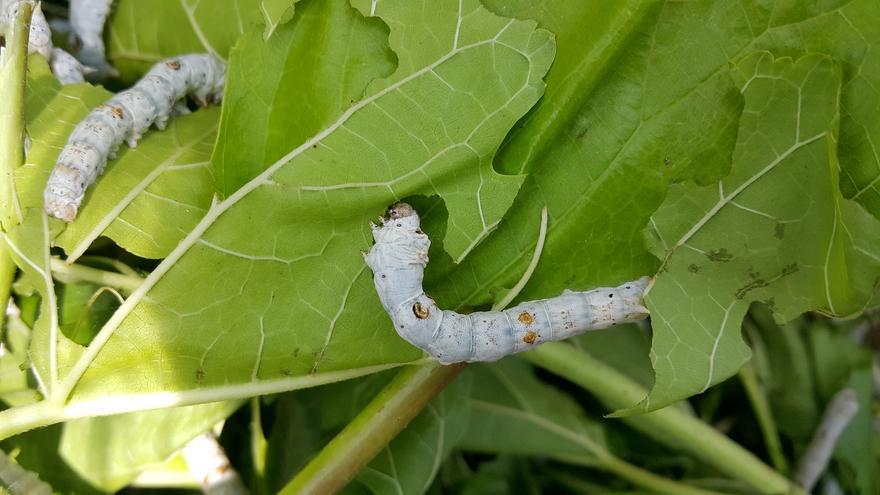 Las aventuras de los gusanos de seda