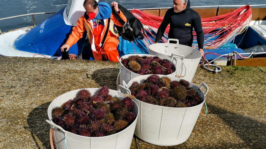 Bueu y Cangas retoman la campaña del erizo con precios por encima de 14 euros