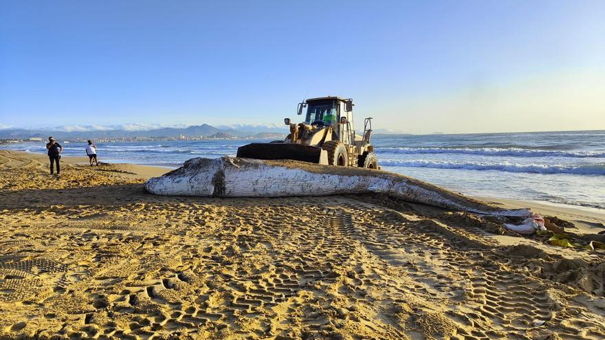 Retiran a la ballena que ha aparecido esta mañana en la playa de El Altet