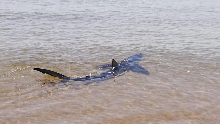 Avistan un tiburón azul en la playa de El Puig