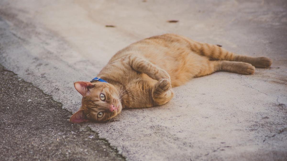 Un gato callejero, en la ciudad de Inca