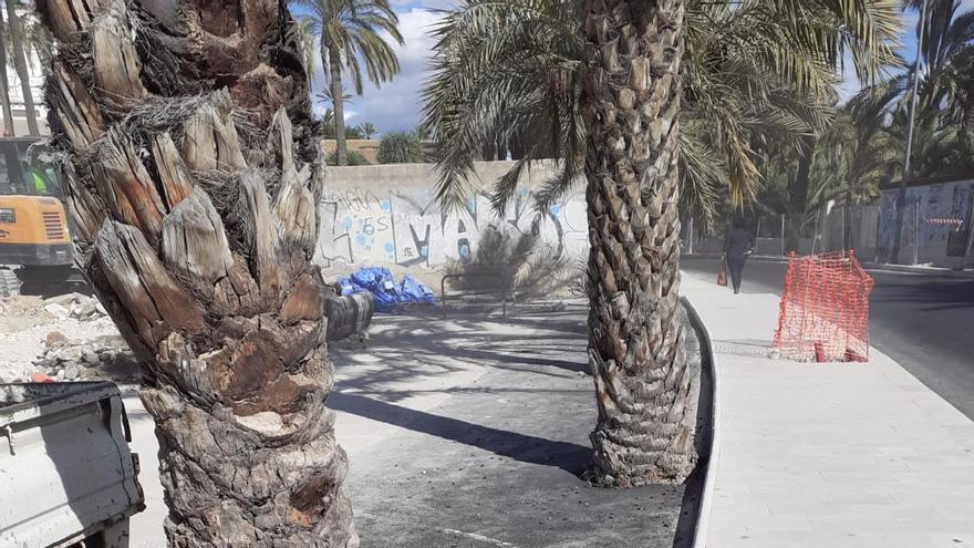 Elche acuerda establecer un tratamiento homogéneo para los alcorques de las palmeras