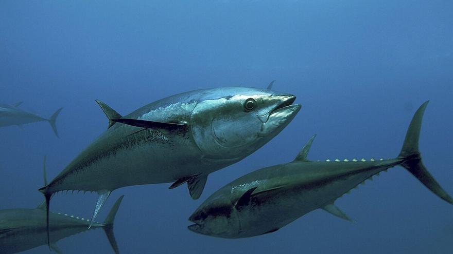 El atún del Mediterráneo, el más contaminado del mundo por mercurio