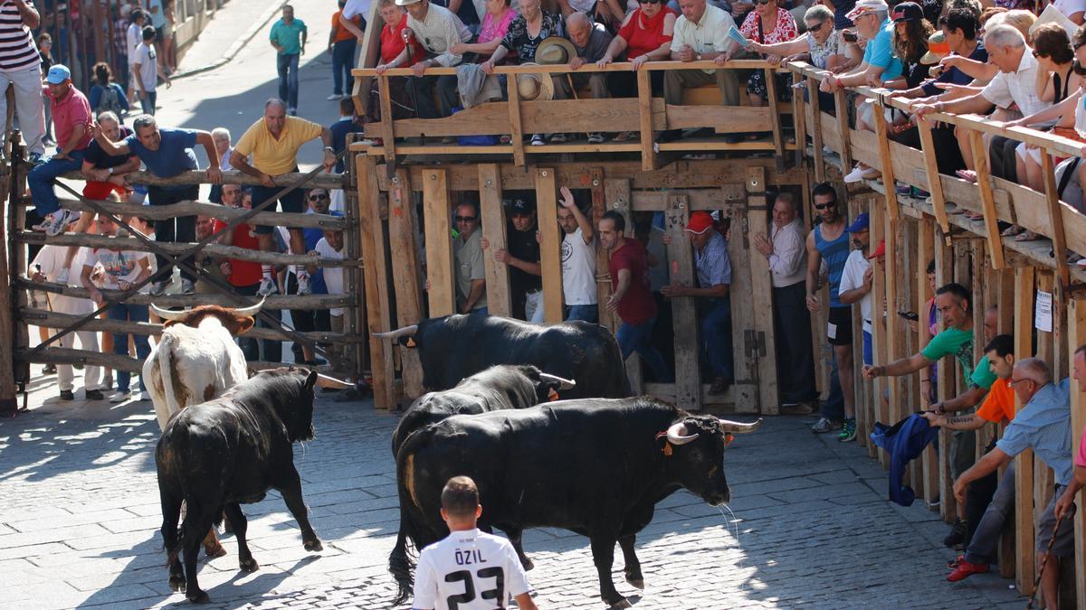 Desarrollo de un encierro taurino en la Plaza Mayor de Fermoselle
