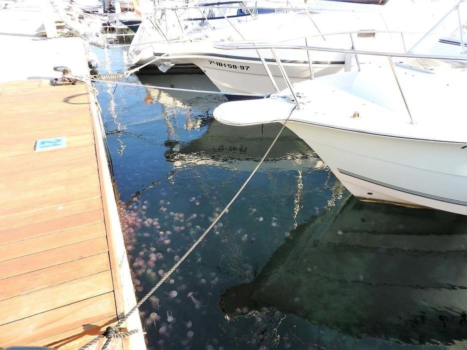 Las medusas inundan el puerto de la Savina