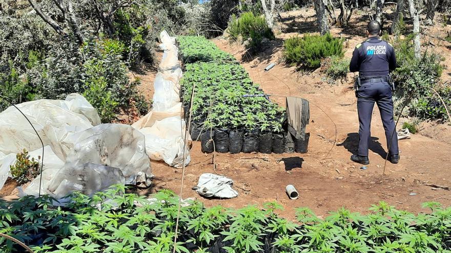 Desmantellen un cultiu amb més de 3.700 plantes de marihuana amagat enmig d'una zona boscosa de Vidreres