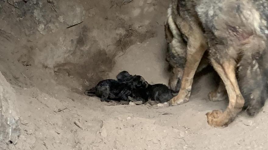 """La loba """"Jara"""" con sus tres crías en el Centro """"Félix Rodríguez de la Fuente"""""""