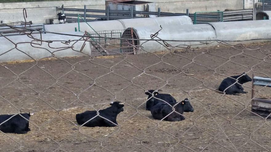 Los toros siguen en la granja de Alfarp 5 meses después de cerrarla al no tener licencia