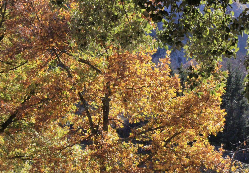 Roureda. La roureda o rovira és un bosc on dominen els roures de diferents espècies. Quan arriba el fred, les fulles dels roures canvien el color verd característic pels grocs i ocres.