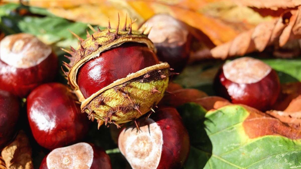 Les castanyes són un producte típic d'aquesta època de l'any.