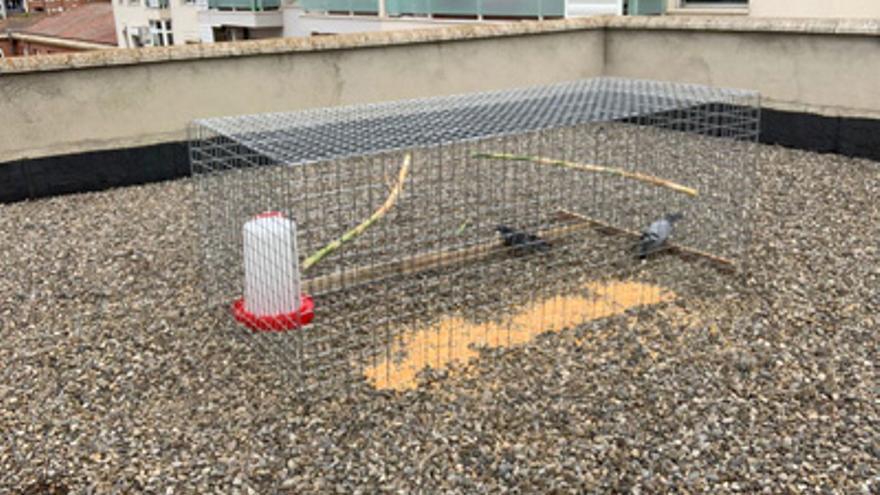 El Ayuntamiento de Monzón captura más de 3.300 palomas en el último año