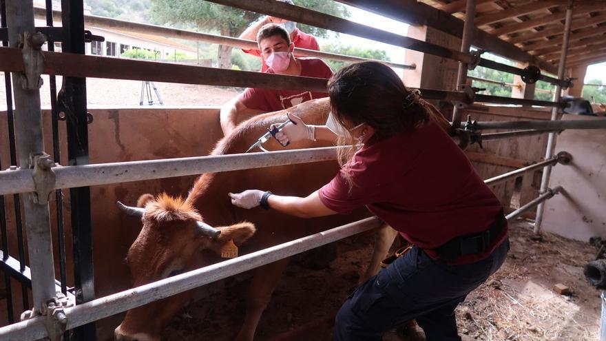 Agricultura prevé acabar en octubre la vacunación de la 'llengua blava'