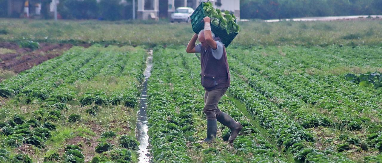 Una agricultor recogiendo hortalizas en un finca regada con agua del trasvase
