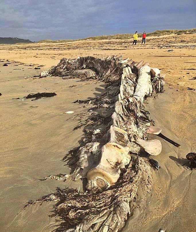 Los restos del esqueleto de ballena aparecidos en octubre en la playa de A Lanzada.